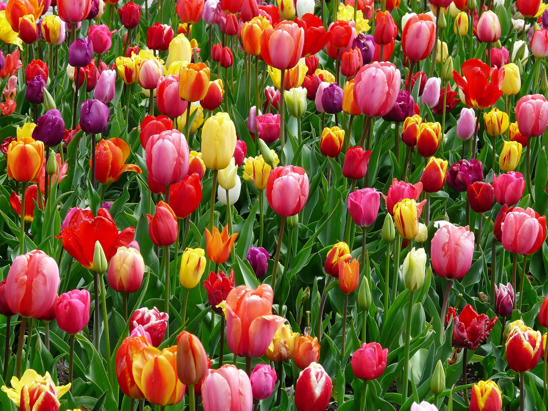 Tulips Flower Beds